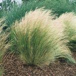 MEXICAN FEATHER GRASS image
